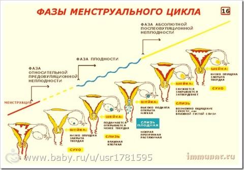 Матка по дням цикла при беременности
