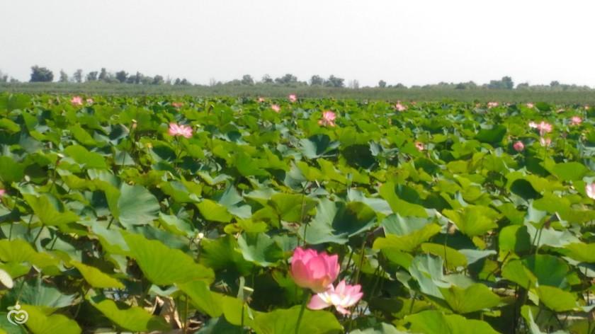 Репа: выращивание и уход