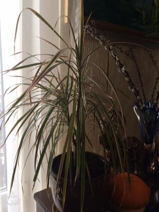 Цветочники моя пальма стала засыхать