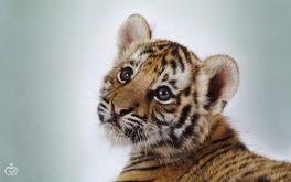 tigry-zhivotnye-36534